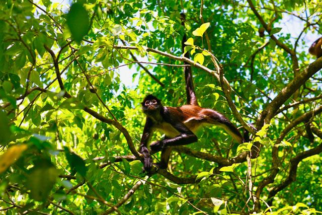 Coba nature monkey